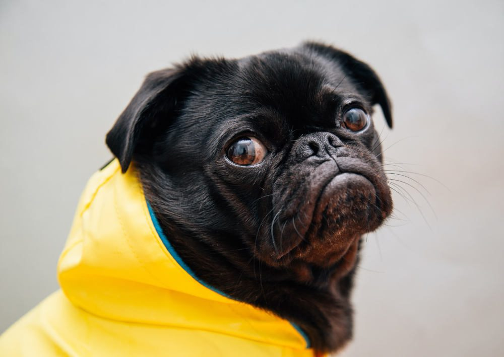 Unhappy-Pug-Dog